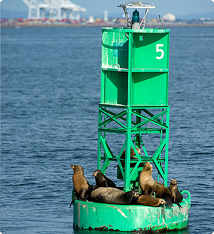 LA Harbor California Sea Lions